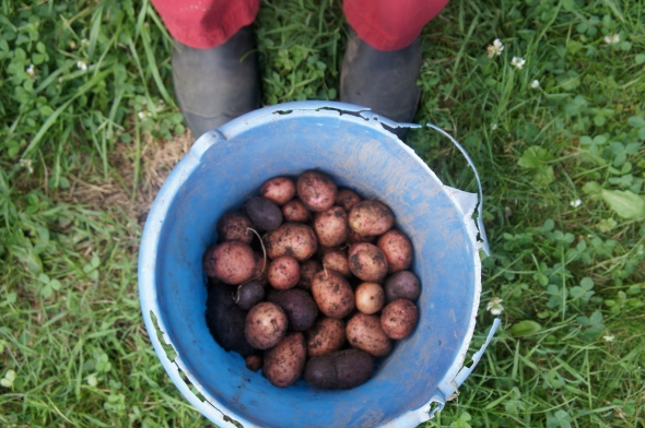 rose gold and purple new potato harvest