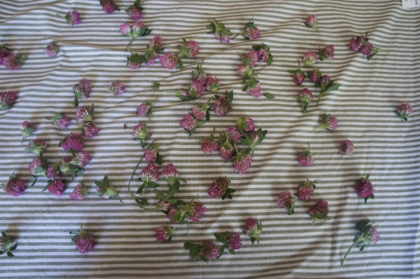 drying clover for tea