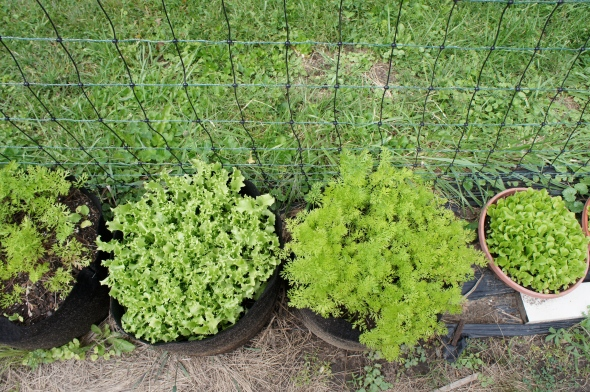 Our fall garden: Frisee and carrots